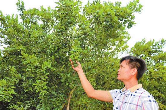 在这3个乡镇发放沙糖桔种植技术及病虫害防治技术