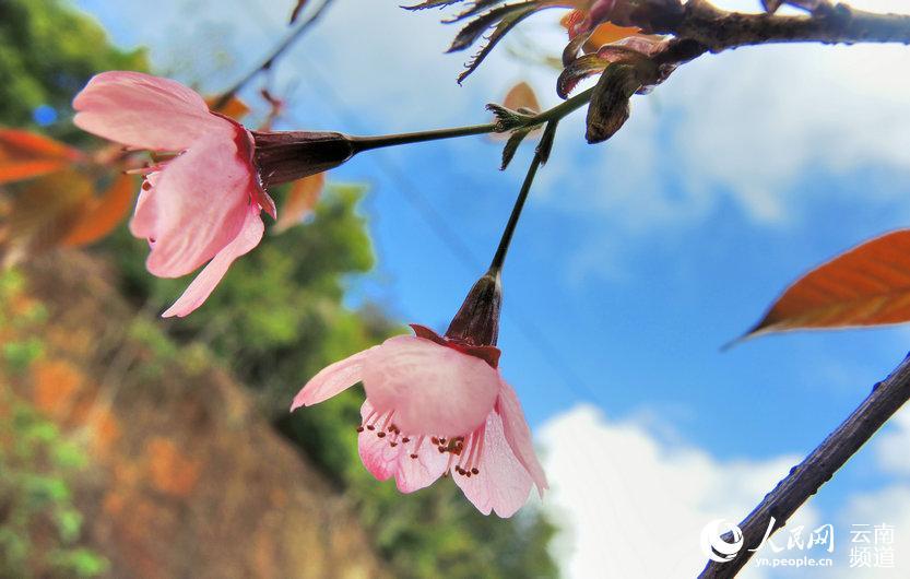 云南昌宁西山森林公园:樱花浪漫季节已来临