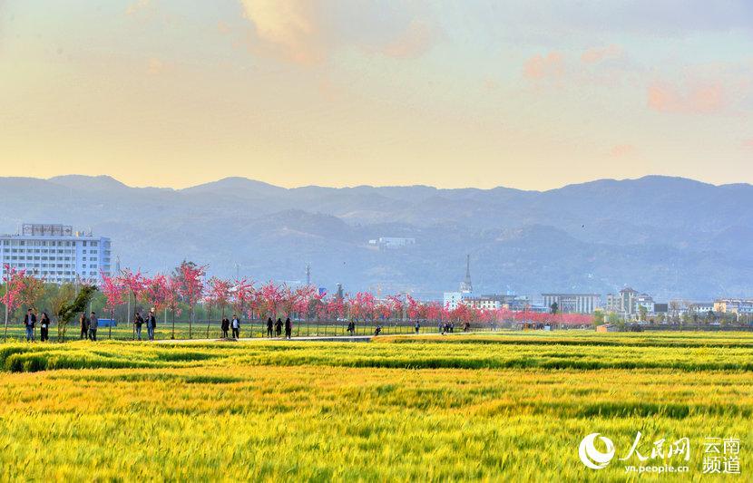 与绿色的麦,金色的油菜花融为一体,勾勒出一幅幅美丽的画卷,吸引八方