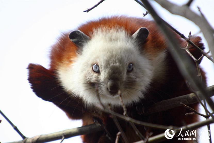 """(薛丹) 2日上午,一只毛茸茸的疑似""""大熊猫""""的动物出现在云南昭通市"""
