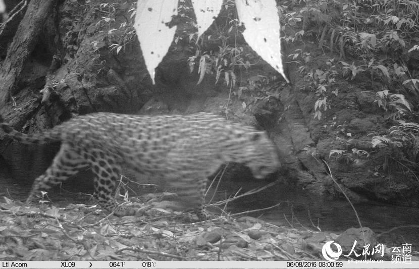 人民网昆明6月25日电 (虎遵会)记者25日从云南省西双版纳国家级自然保护区管理局获悉,近日,该保护区科学研究所工作人员在鼷鹿种群调查项目工作中,利用红外感应相机在西双版纳东部中老边境地区首次拍摄到国家一级保护野生动物金钱豹。 据照片显示,拍到金钱豹的时间是6月8日上午8点许,照片经西双版纳国家级自然保护区科学研究所所长、高级工程师杨鸿培、工程师宋志勇、北京林业大学硕士研究生杨子诚等联合鉴定,确定此次拍到的两张大型猫科动物图片是金钱豹。 杨鸿培介绍,此次调查能够拍到金钱豹这一顶级捕食者,说明该区域的食草