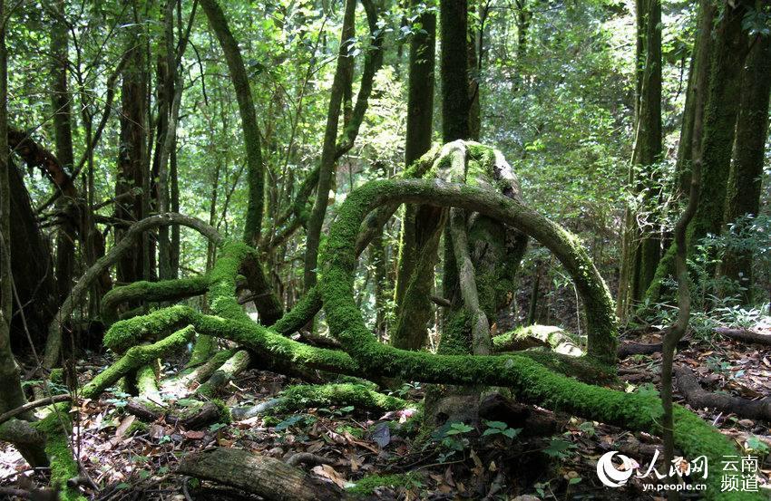 走进云南原始森林 探秘世界最高野生山茶花
