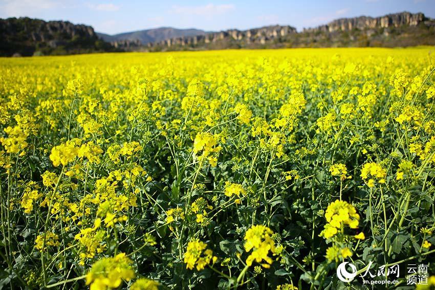 云南石林:春天赏花正当时 乃古千亩花海等你来(图)