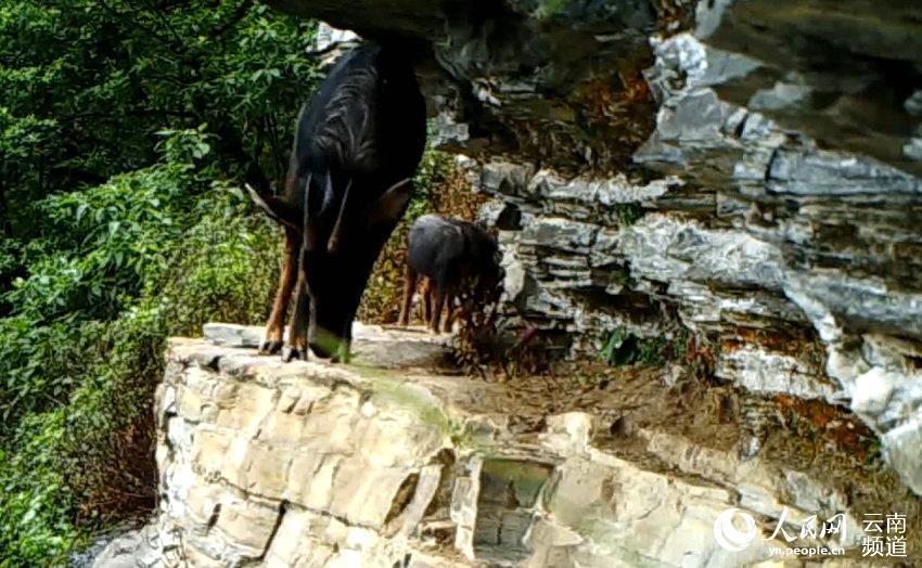 红外相机拍到的鬣羚.(景东县森林公安局供图)