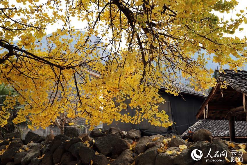 人民网腾冲12月12日电 (徐前)每年的11月是云南腾冲银杏村最美