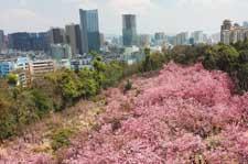昆明城区樱花盛开