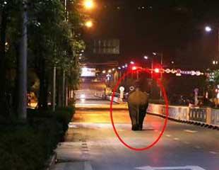 普洱:野生亚洲象闯入市区 当地启动应急响应