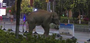普洱:野生亚洲象闯入市区4月7日晚,一头野生亚洲象闯入云南省普洱市思茅区。