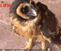 """这只""""美瞳大眼睛""""是二级保护动物褐林鸮罗先生捡回了一只毛绒绒的有着奇怪""""长相""""的小鸟。"""