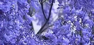 """来昆明看""""蓝色梦幻"""" 只有这15天每年五月份前后,昆明城就被大片的蓝紫色点缀,蓝花楹盛放的昆明弥漫着童话般的美。"""