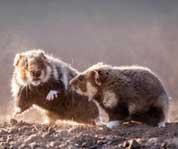 匈牙利公园两仓鼠沙土中搏斗