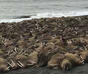 逾200头海象登陆阿拉斯加海岸
