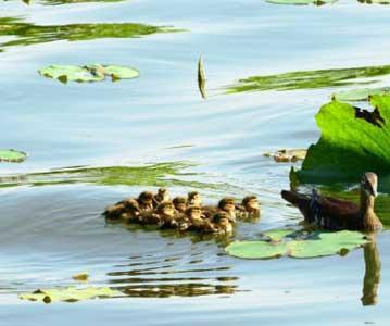 杭州:西湖小鸳鸯诞生第4窝