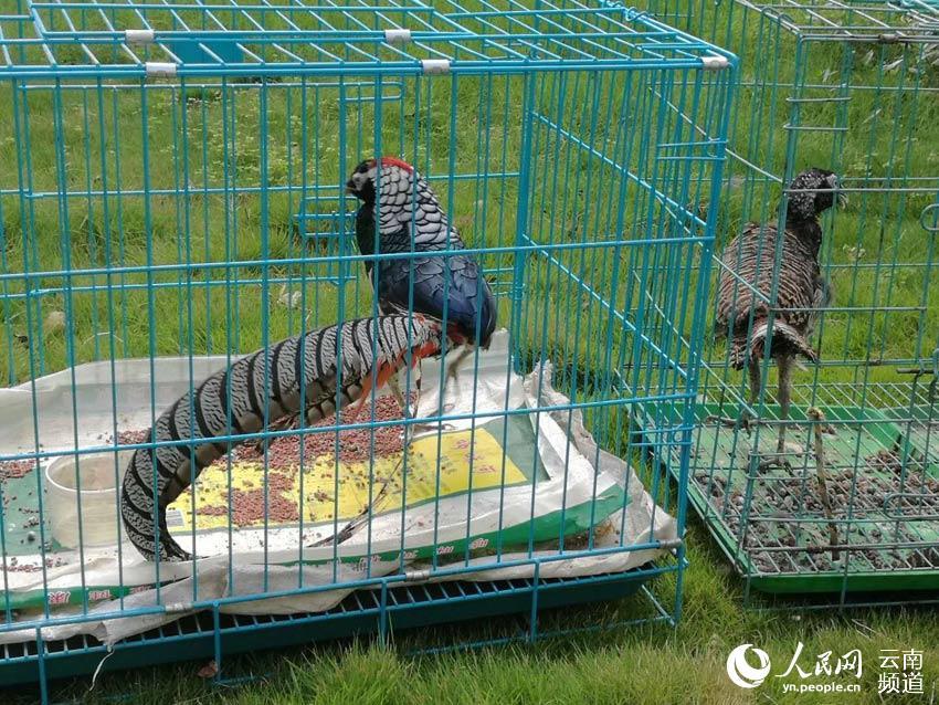 云南一男子视频直播兜售国家保护动物