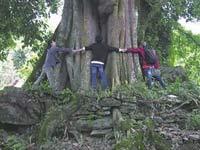 麻栗坡荔枝树树龄500年