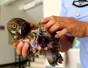 西双版纳连续救助7只国家二级野生保护动物鸺鹠