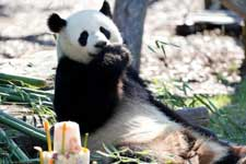 """旅德大熊猫""""娇庆""""迎来八岁生日"""