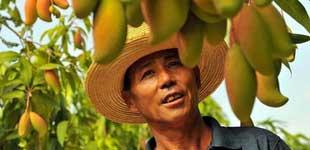 丽江华坪芒果种植面积达22万亩