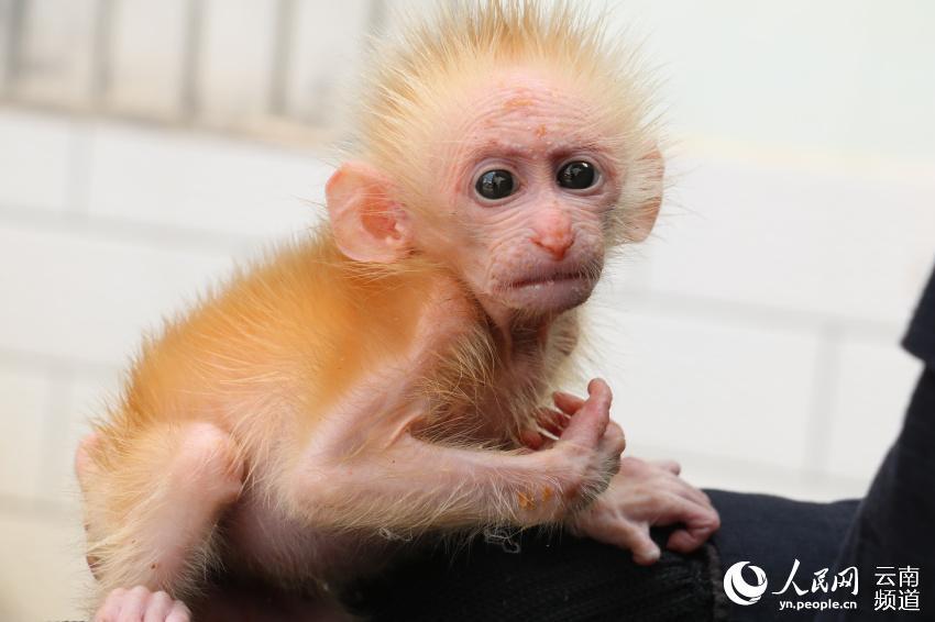 人民網普洱10月30日電 近日,雲南省普洱市孟連縣的一隻小猴被人抓住並在路邊兜售,兩名熱心市民看到后把幼猴買下並交給了當地森林公安民警。民警對照圖譜並請專業人員進行鑒定后,確認這是一隻國家一級保護野生動物北豚尾猴。 接收到這隻幼猴后,孟連縣森林公安局工作人員趕緊為小家伙沖泡了奶粉,咬著奶嘴大口大口吃奶的幼猴模樣十分呆萌可愛。經過測量,這隻猴子僅有21厘米長,體重也隻有1.