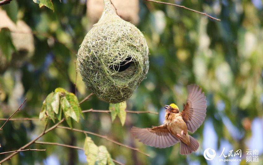 动物界的能工巧匠 黄胸织布鸟在云南孟连扎堆筑巢安家