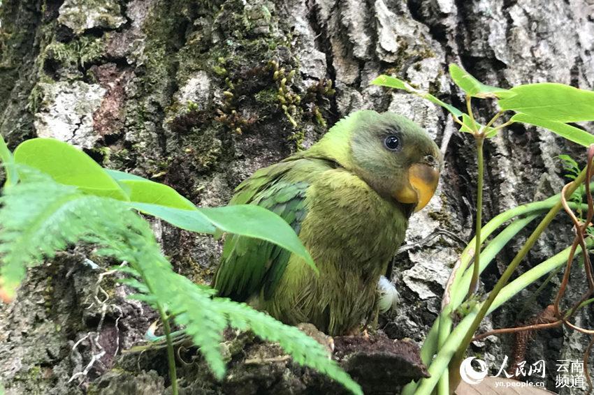 重归大自然的国家二级保护动物灰头鹦鹉 摄影:常宗波