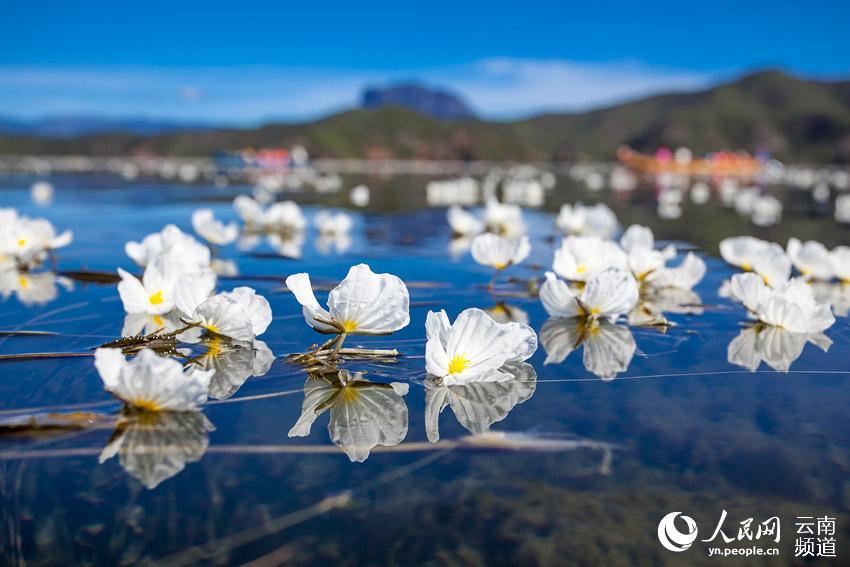 云南泸沽湖里生长的海菜花。摄影:陈畅