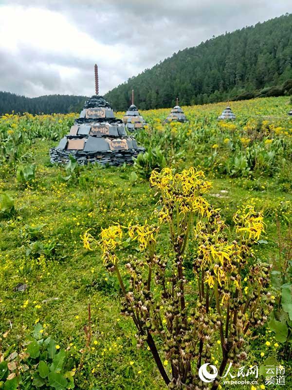 普达措国家公园里小花盛开。和佼摄