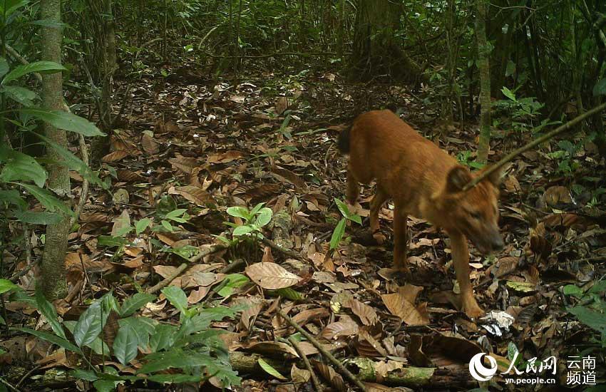 国家一级保护动物豺。视频截图