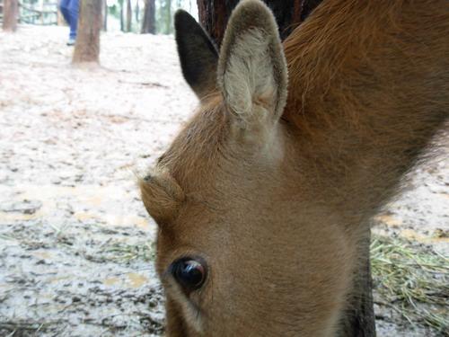野生动物园惊现独角雌麋鹿