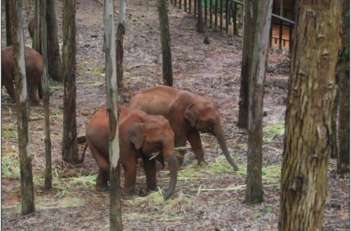 案件被解救小象经过云南省野生动物园数日的细心照料