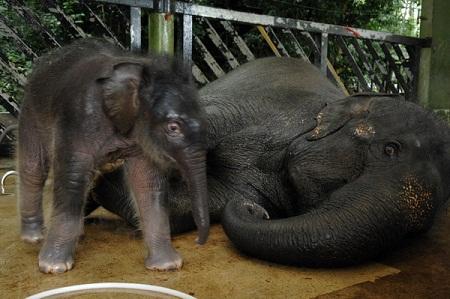 新加坡夜间野生动物园增添小象